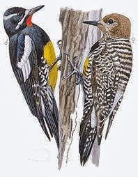 Williamson´s Sapsucker