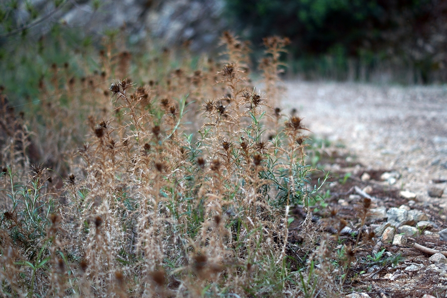 Blog + Fotografie by it's me fim.works - La Isla Blanca Ibiza, Cala Llonga, verdorrte Disteln