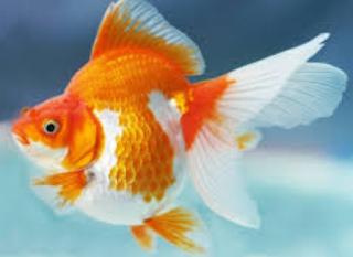 Panduan Lengkap Budidaya Ikan Mas KOKI