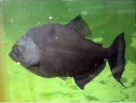 Cara Merawat Ikan Piranha Rhombeus Di Akuarium