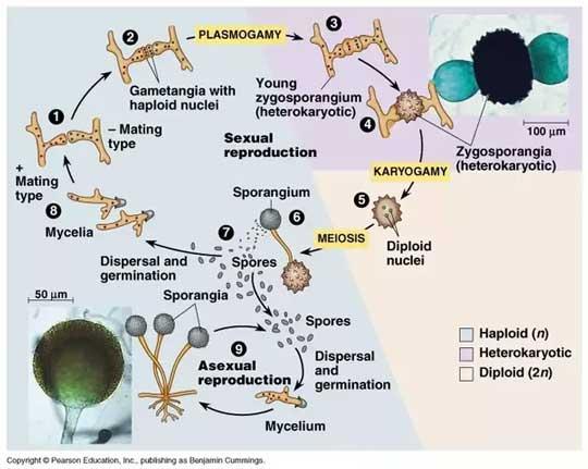 Siklus atau daur Hidup Zygomycota