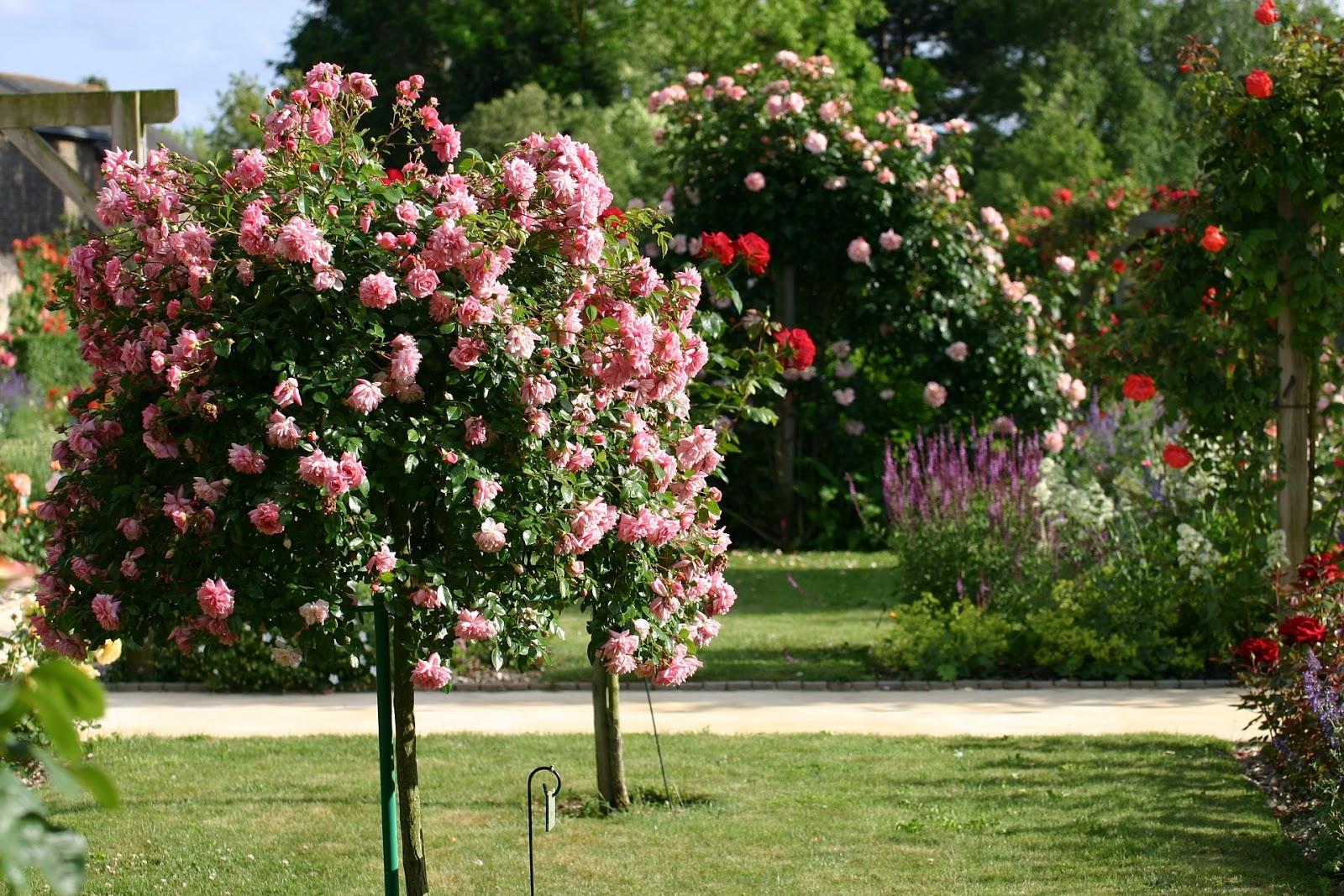 Quand Et Comment Tailler Un Rosier rosier pleureur : plantation et entretien - les carnets de