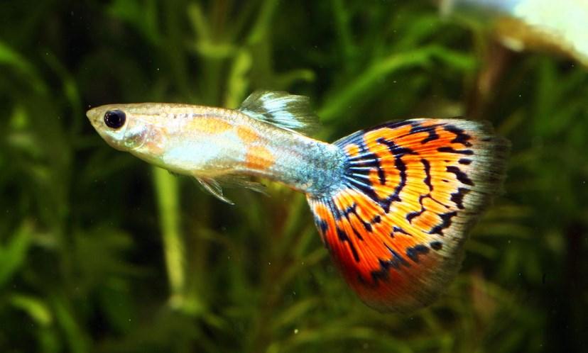 Ikan Ikan guppy adalah ikan kecil dengan corak di dalam akuarium