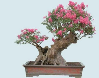 crape myrtle bonsai from cutting, how to make crepe myrtle bonsai, cutting back crepe myrtle for bonsai, crape myrtle bonsai for sale, myrtle bonsai indoor, common myrtle bonsai, syzygium buxifolium bonsai, myrtus communis bonsai