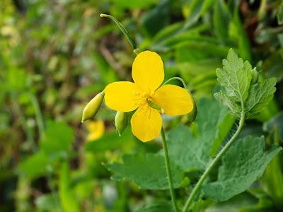 Celidonia mayor (Chelidonium majus) flor silvestre amarilla