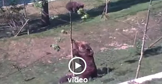 Η Υπερπροσπάθεια Της Μαμάς Αρκούδας Να Σώσει Το Μικρό Της - Video