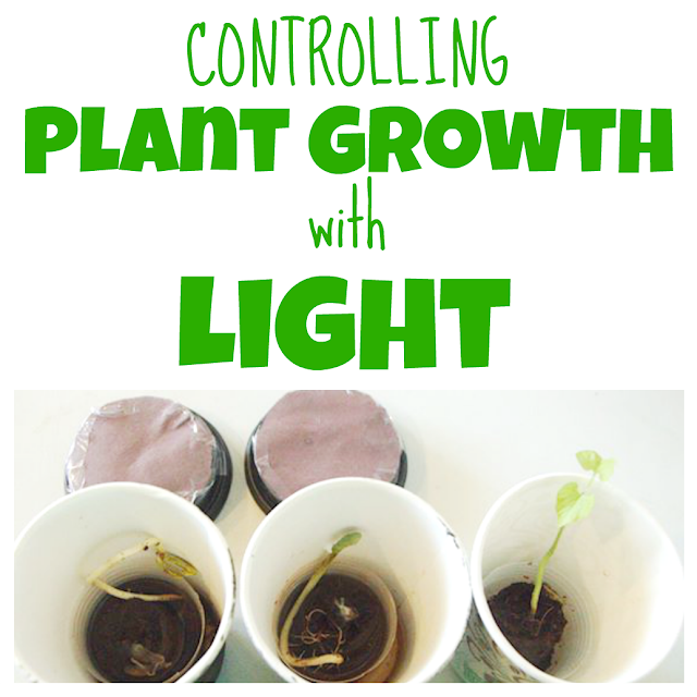 An experiment to demonstrate how plants grow towards the light.