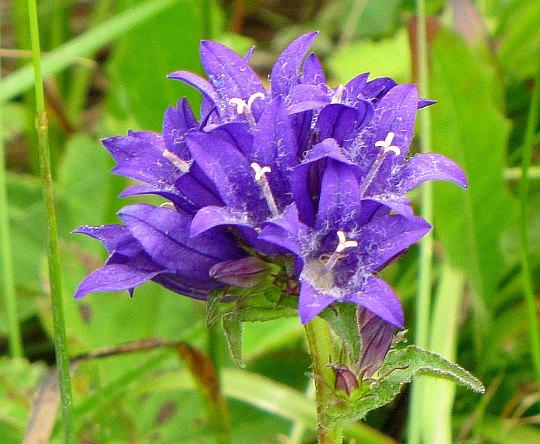 Dzwonek skupiony (Campanula glomerata).
