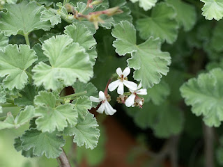 Pelargonium X fragrans - Pelargonium fragrans