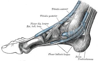 flexor digitorum longus muscle, action, muscle picture