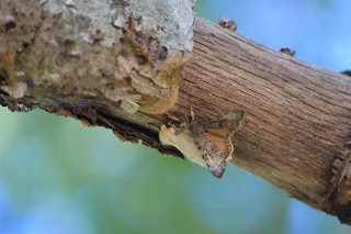 Gypsy moths mating on tree limb