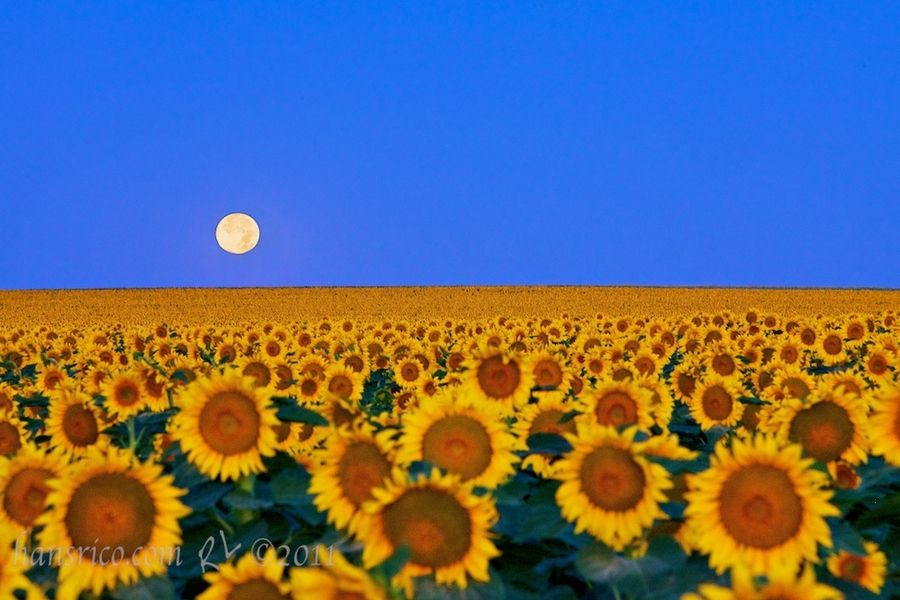 9. Moon Over My Sunflowers by Rick Louie