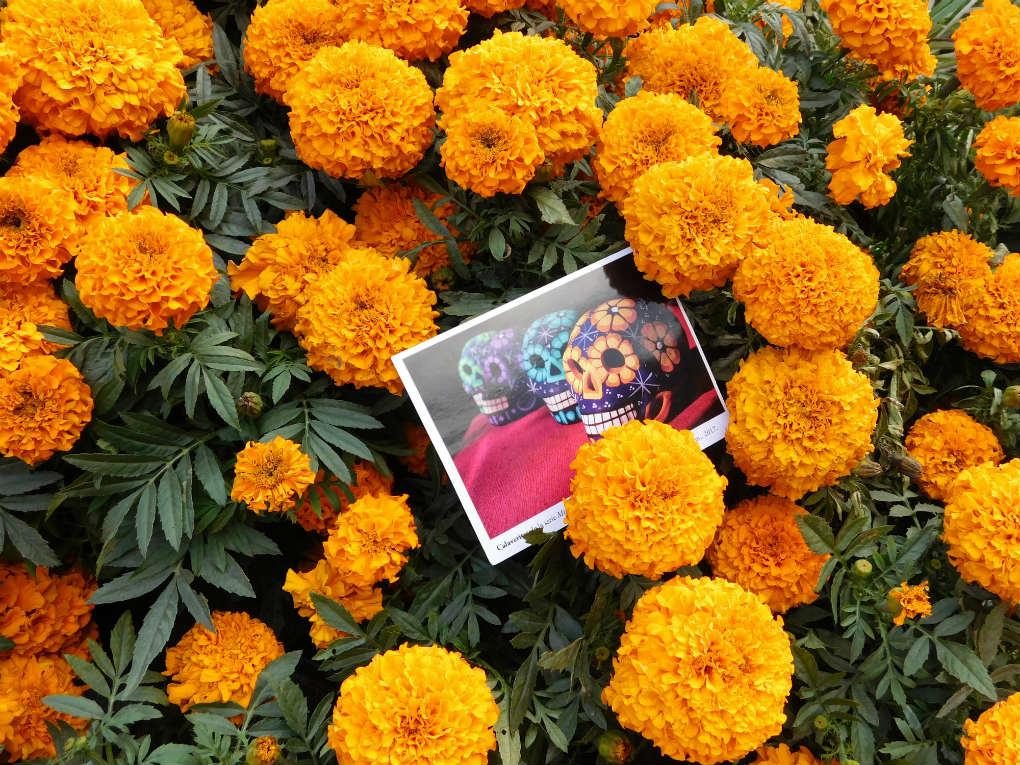 La Flor de Cempasúchil un icono del Día de Muertos en México ...