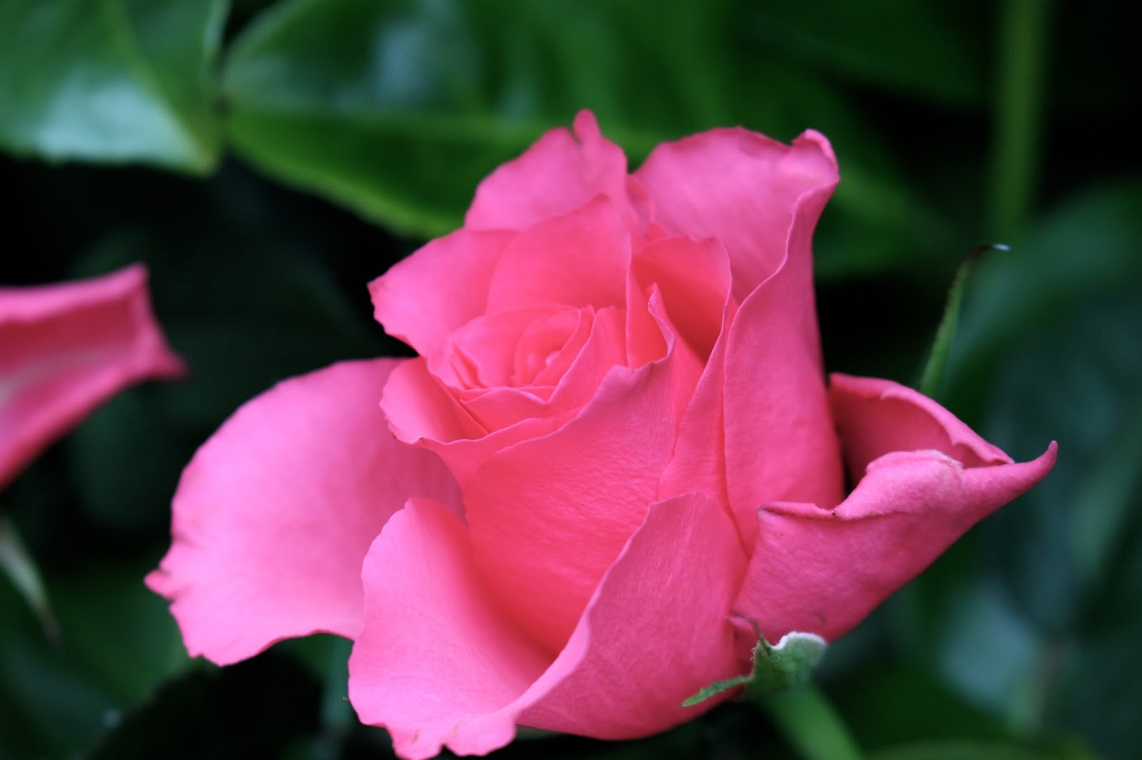 beautiful pink roses photography