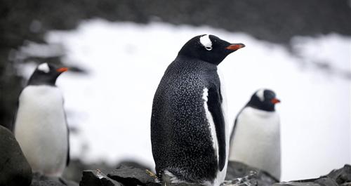 colonia de pingüinos en islas 25 de mayo antártida argentina