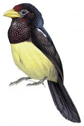 Trachylaemus goffinii