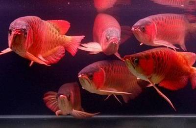 Cara Membedakan Ikan Arwana Jantan Dengan Betina Dengan Gerakan Ketika Berenang