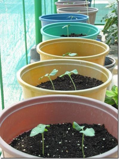Cách trồng Đậu bắp và trồng Đậu bắp tại nhà