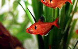 Serpae Jenis Ikan Tetra Terpopuler