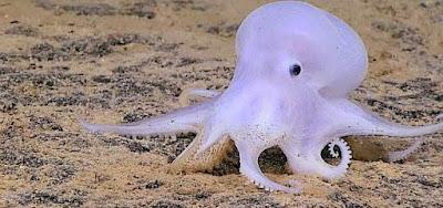Gurita Laut Hantu Ditemukan di Kedalaman 4,3 km
