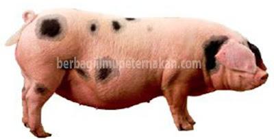 Cara mengetahui babi akan segera beranak