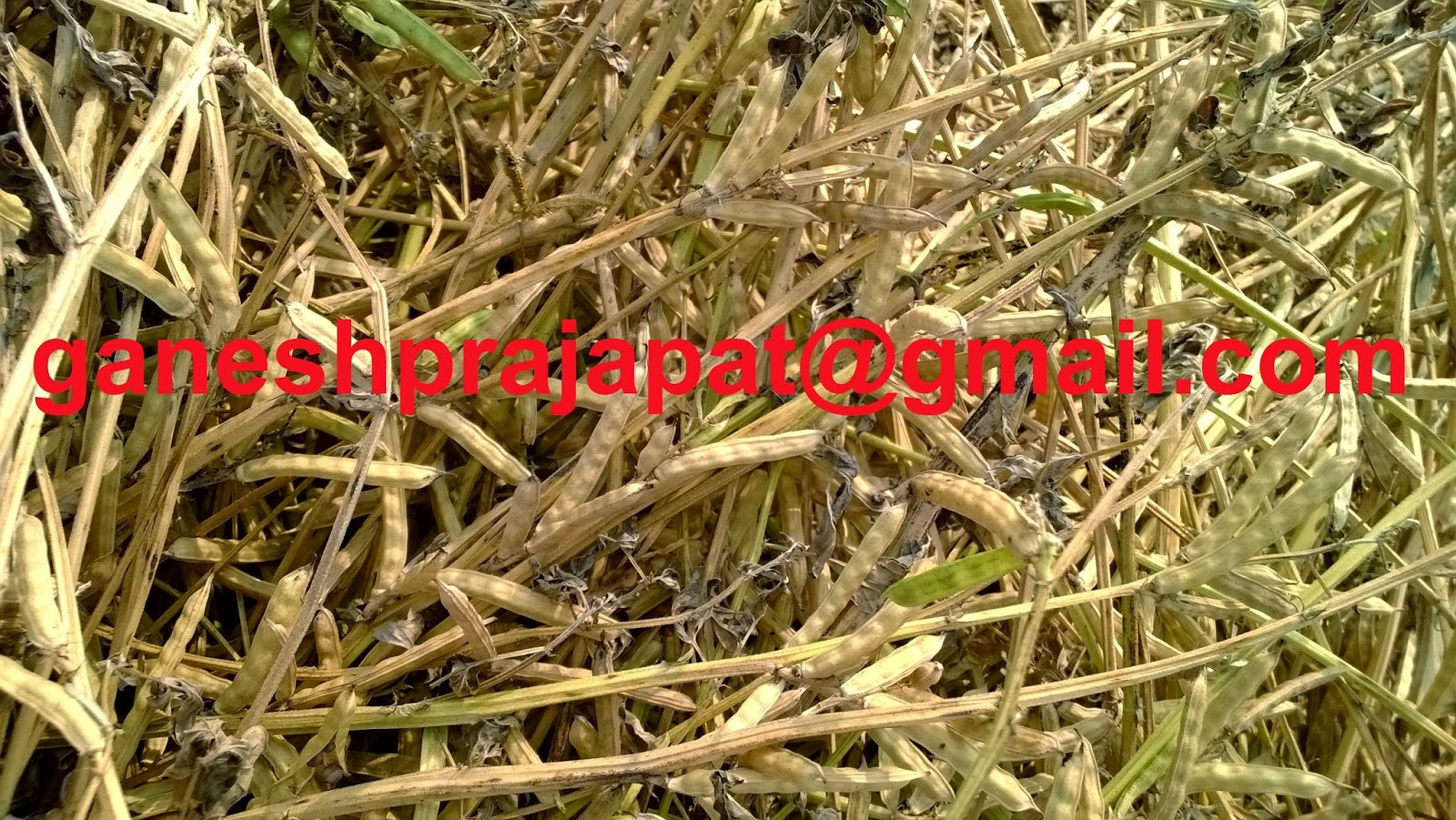 GUAR GUM INFORMATION AND GUAR GUM CULTIVATION IN INDIA: Guar
