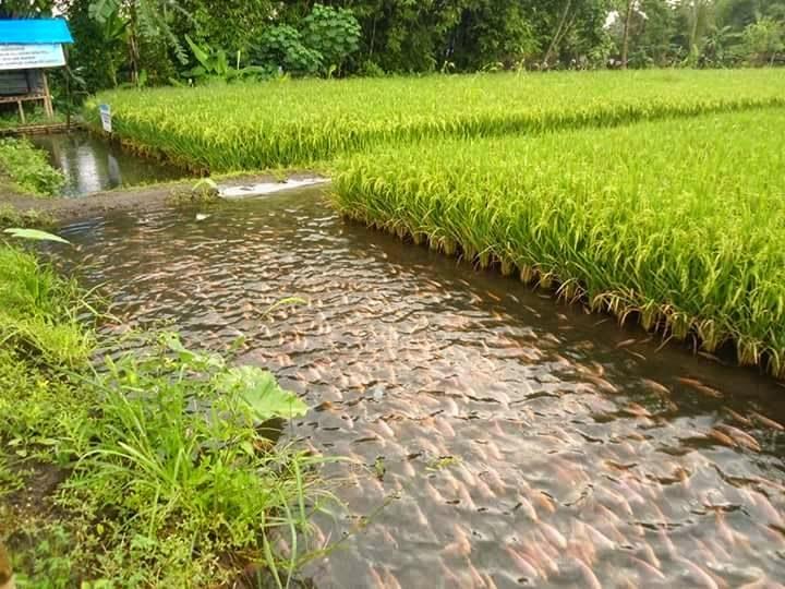 Pertanian Dan Budidaya Ikan Minapadi Lipatgandakan Keuntungan