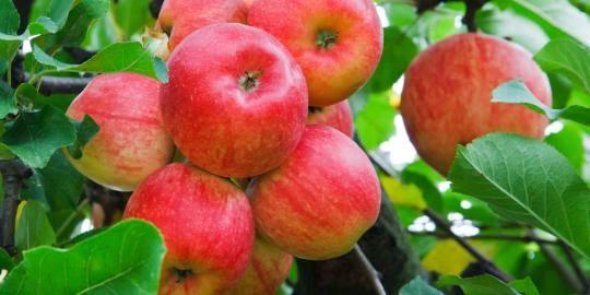 buah-yang-paling-tercemar-pestisida