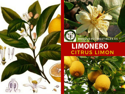 Árbol el Limonero, Citrus limon, Flor, Hoja y Fruto imagenes