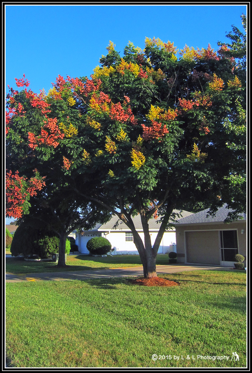 Fall Colors In Central Florida Cannot Begin To Compete With The Glorious Explosions Of Beauty Northern Climes But Unlike South