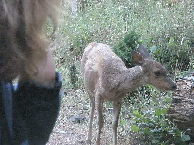 Tame deer on Jones Island in the San Juan's