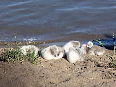 Mazury, żeglowanie po Mazurach, porty na Mazurach, ptaki wodne na Mazurach, łabędzie, rodzina łabędzi, walka o terytorium