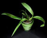 storczyk oncidium