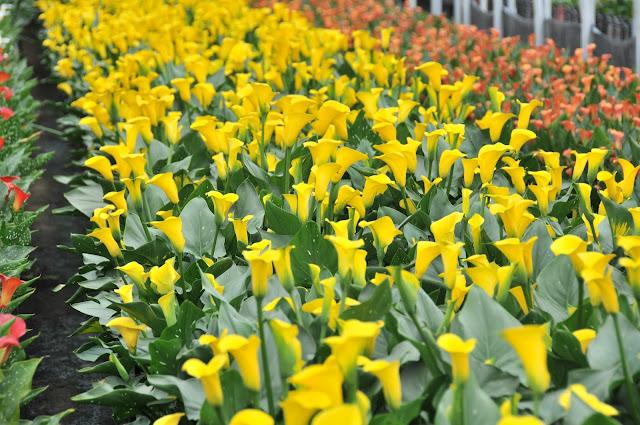 yellow calla lilies growing