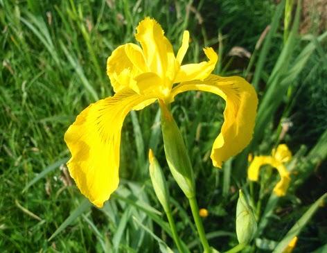 Lirio amarillo (Iris pseudocorus)