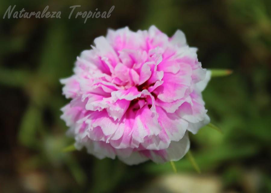 Variedad matizada de la flor de la planta Diez del Día o Diez de la Mañana, Portulaca pilosa
