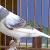Cara Merawat Bulu Burung Kenari Agar Sehat Dan Indah