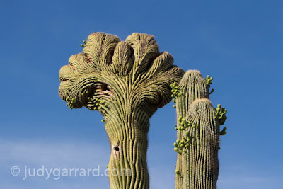 Crested saguaro cactus at Desert Botanical Gardens