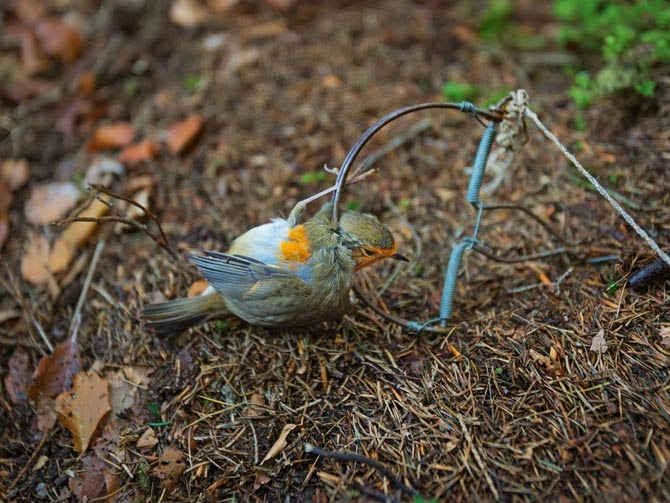 A metal snap trap operates like a mousetrap, with berries as the bait. Catching birds this way is illegal, but poachers still use the traps in the northern woods. This European robin, fatally pinned by its neck and foot, was discovered by rangers on patrol.