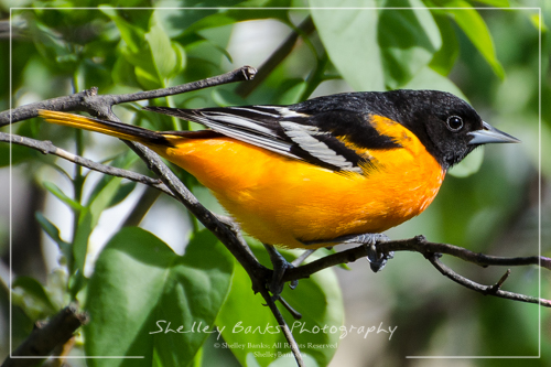 Baltimore Oriole. Copyright © Shelley Banks, all rights reserved