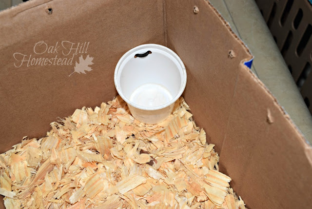 Add shavings to the bottom of the temporary cage.