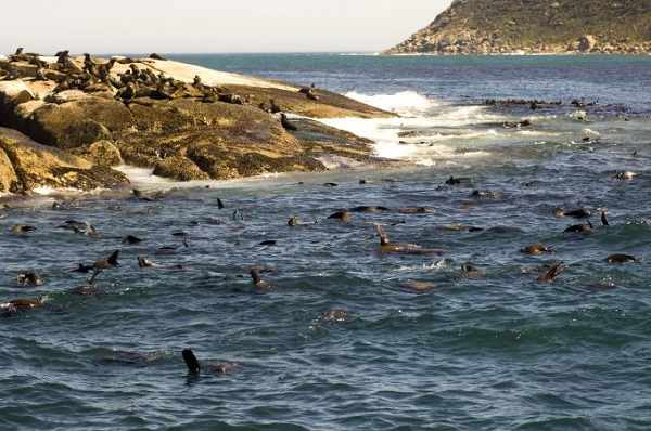 4. Go swimming with seals at Cape Town