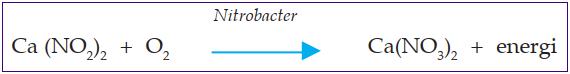 bakteri Nitrobacter mengoksidasi nitrit menjadi nitrat