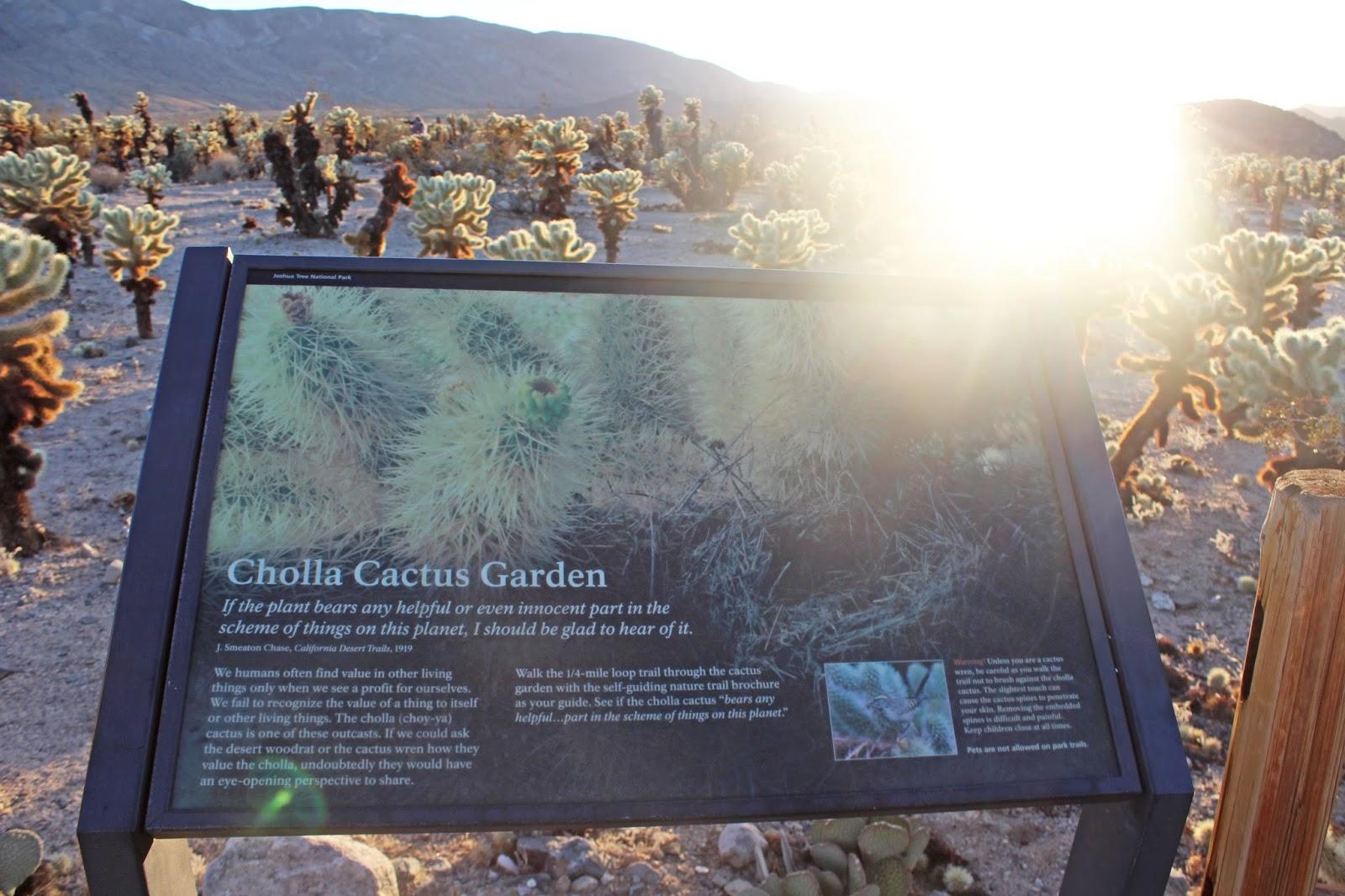 cholla cactus garden sunset 3