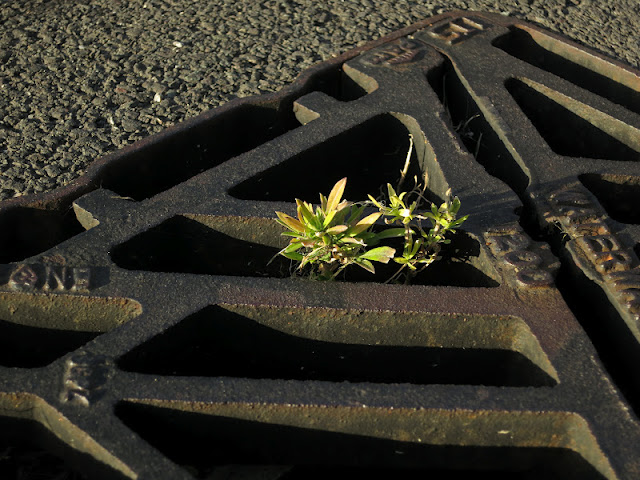 Small plant (Wallflower?) growing in a street drainage grid