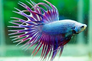 Ikan Cupang ekor sisir