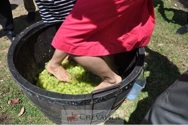 Đi Úc đạp nho làm rượu vang hảo hạng
