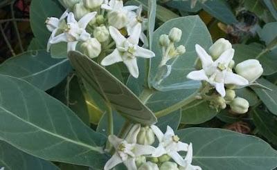 bunga widuri putih