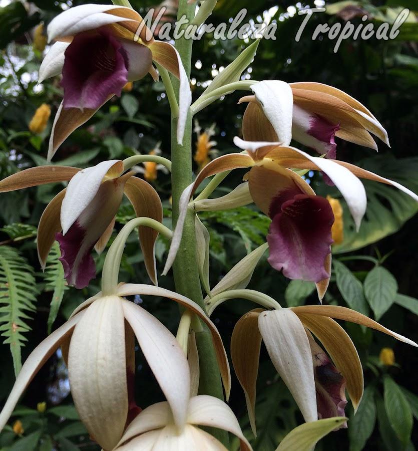 Orquídea terrestre con una de las flores más grandes entre las orquídeas. Llamada Orquídea de la Monja. Phaius tankervilleae.