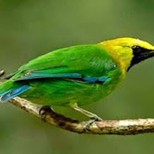 Beberapa Jenis Buah Yang Mampu Menurunkan Birahi Burung Cucak Ijo
